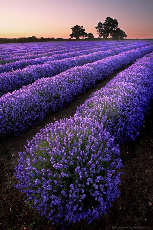 Lavender Sunset, Provence, France