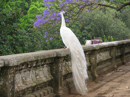 White Peacock, Botanical Garden, Lisbon, Portugal