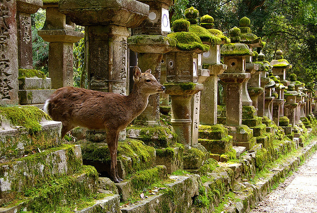 Deer at Kasuga Taisha Shrine in Nara, one of the most famous and oldest in Japan