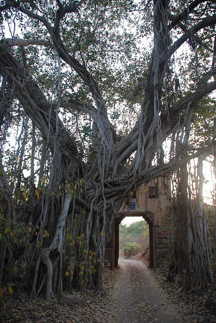 A 500 year old banyan tree integrated with an old fort gate in Ranthambhore National Park, India
