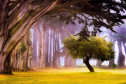 Cypress Trees, San Francisco, California